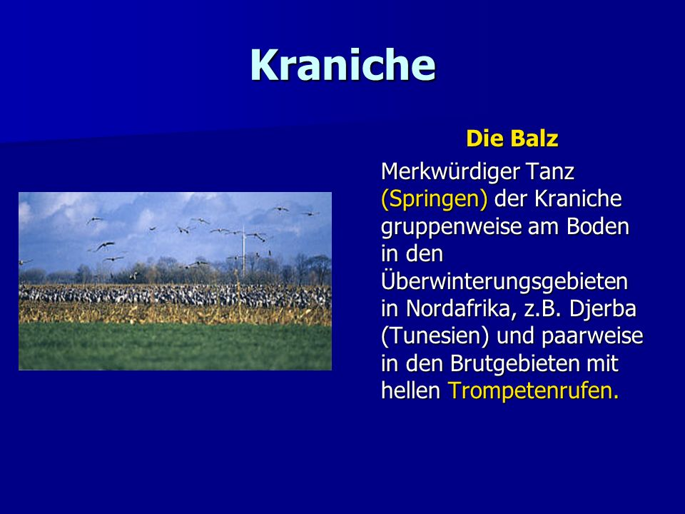Kraniche Die Balz.