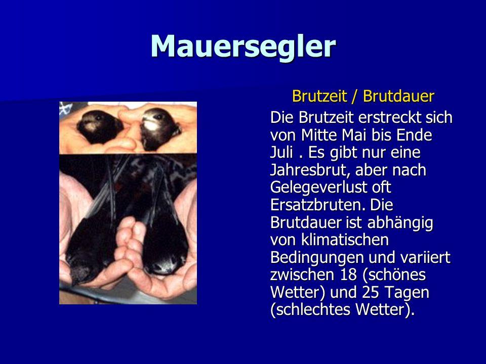 Mauersegler Brutzeit / Brutdauer