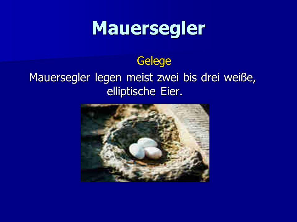 Mauersegler Gelege Mauersegler legen meist zwei bis drei weiße, elliptische Eier.
