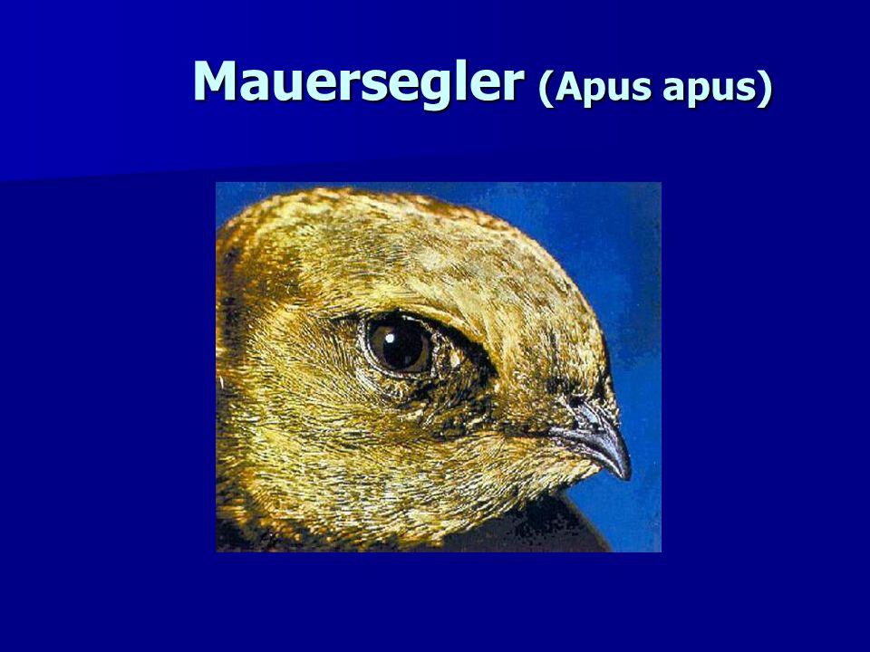 Mauersegler (Apus apus)