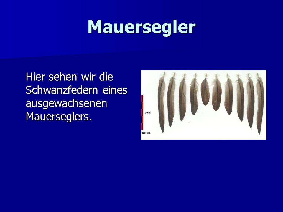 Mauersegler Hier sehen wir die Schwanzfedern eines ausgewachsenen Mauerseglers.