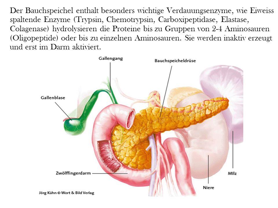 Der Bauchspeichel enthalt besonders wichtige Verdauungsenzyme, wie Eiweiss spaltende Enzyme (Trypsin, Chemotrypsin, Carboxipeptidase, Elastase, Colagenase) hydrolysieren die Proteine bis zu Gruppen von 2-4 Aminosauren (Oligopeptide) oder bis zu einzelnen Aminosauren.