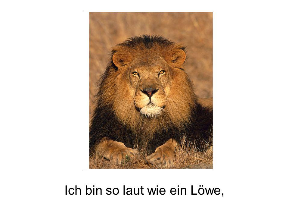 Ich bin so laut wie ein Löwe,