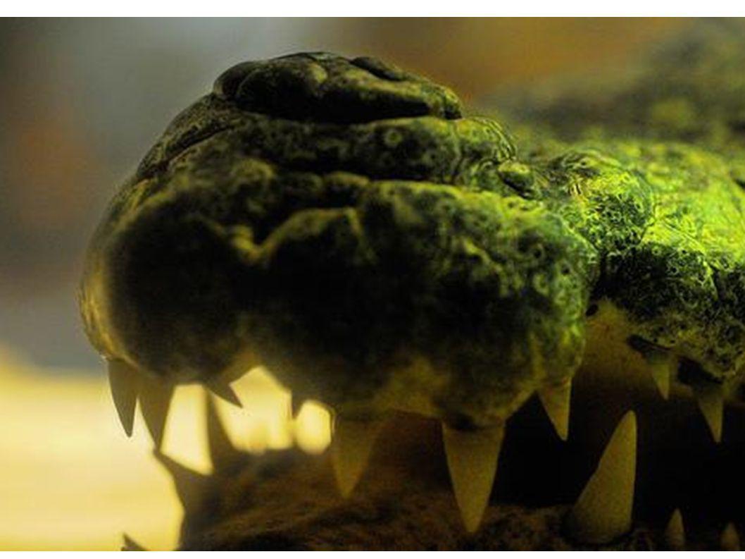 Das Krokodil hat scharfe Zähne