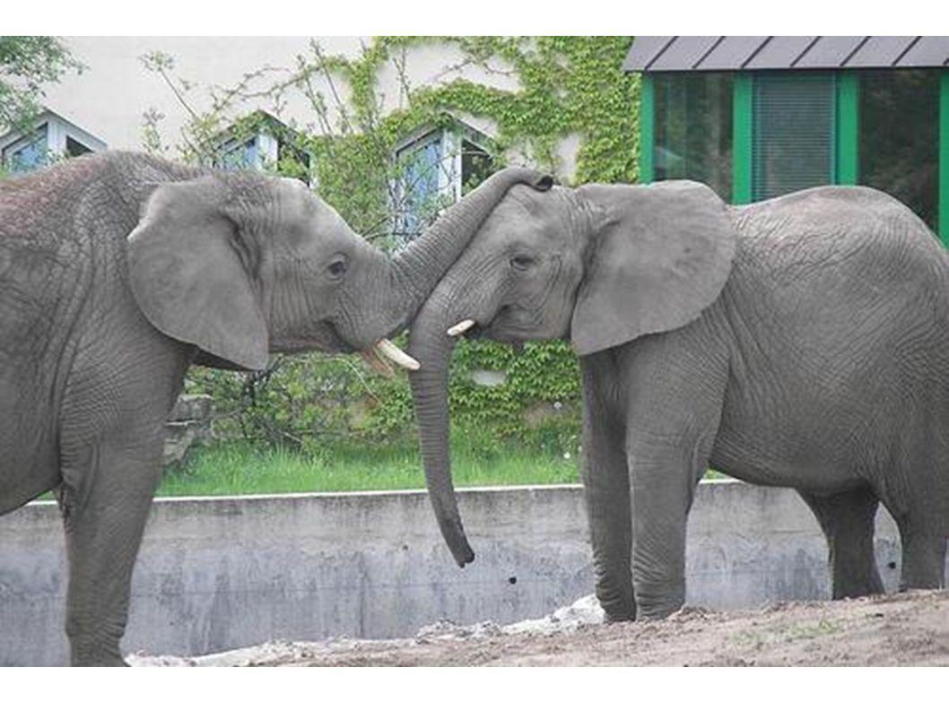 Der Elefant mit seinem Rüssel