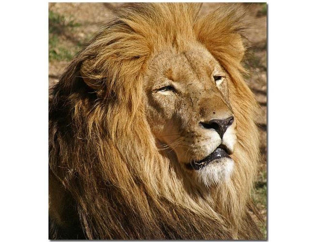 und der Löwe eine Mähne.