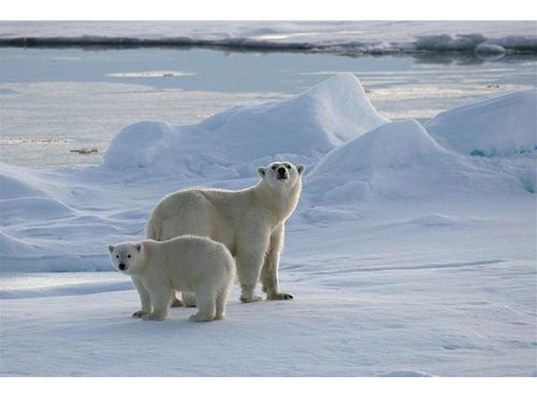 Die beiden Eisbären auf dem Eis