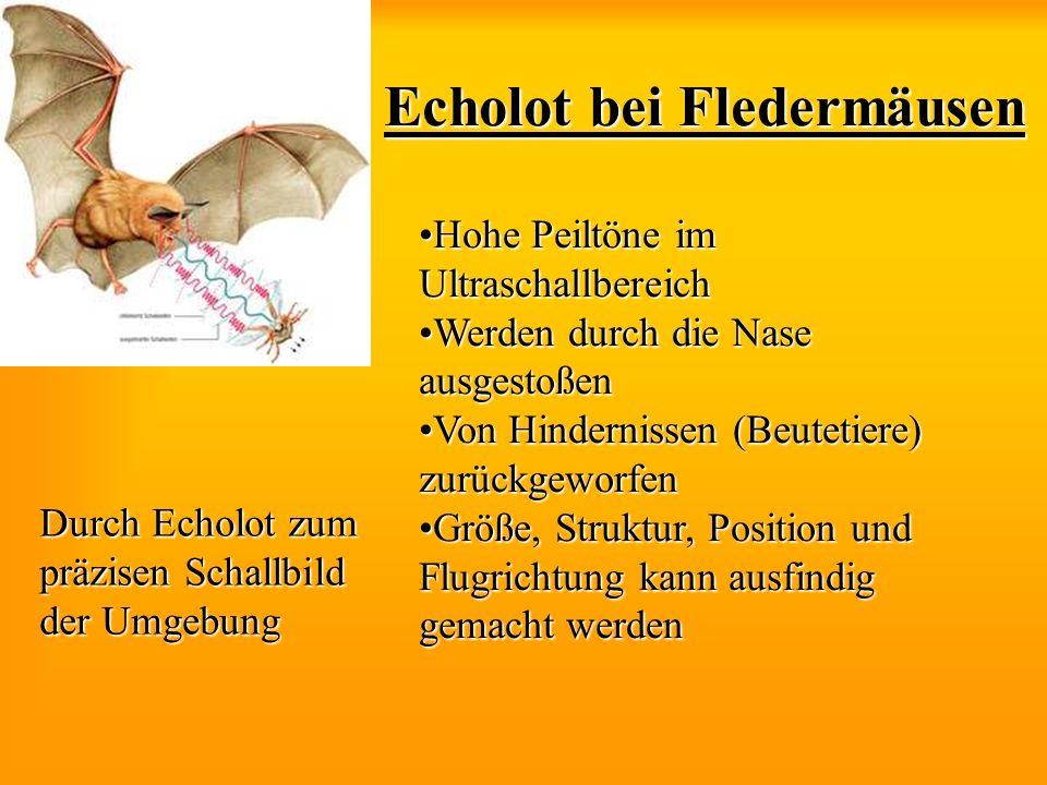 Echolot bei Fledermäusen