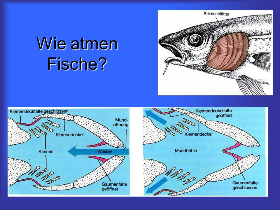 Wie atmen Fische