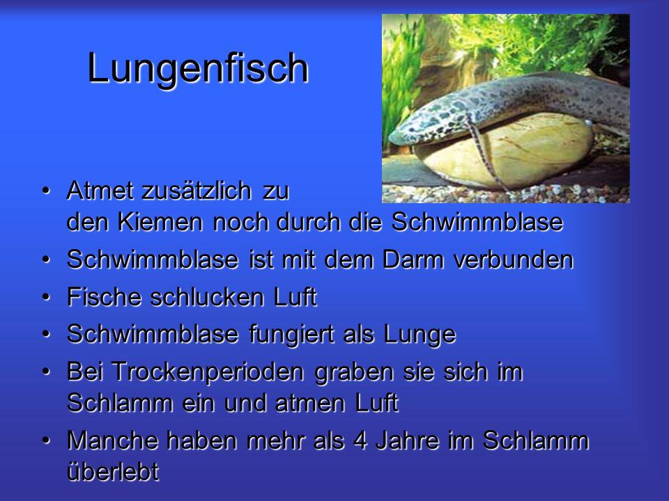 Lungenfisch Atmet zusätzlich zu den Kiemen noch durch die Schwimmblase