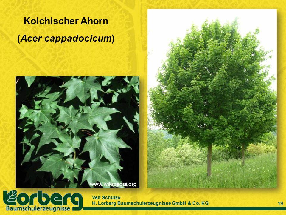 Kolchischer Ahorn (Acer cappadocicum)