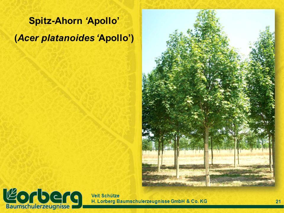 (Acer platanoides 'Apollo')