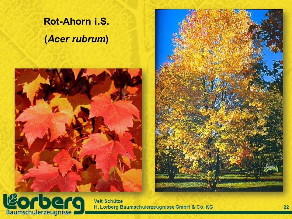 Rot-Ahorn i.S. (Acer rubrum)