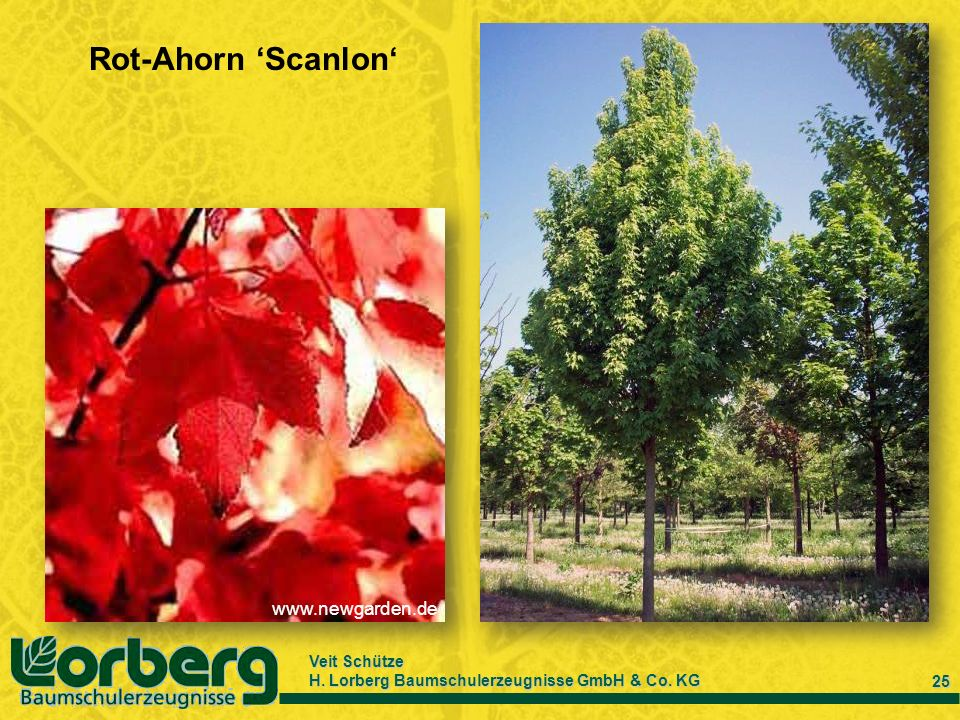Rot-Ahorn 'Scanlon' www.newgarden.de