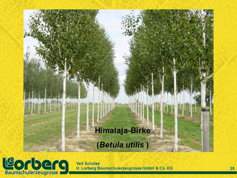 Himalaja-Birke (Betula utilis )