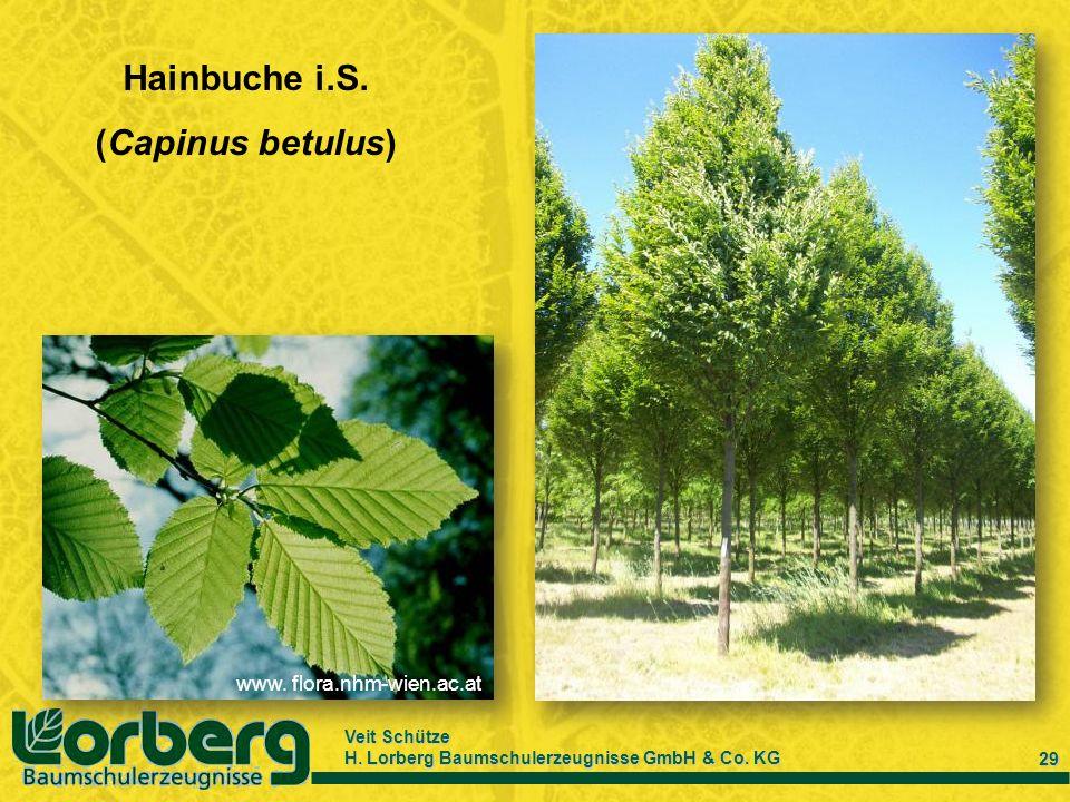 Hainbuche i.S. (Capinus betulus)