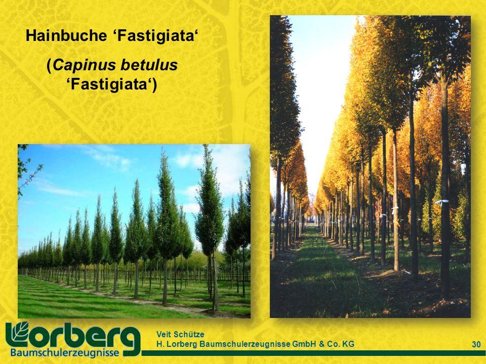 Hainbuche 'Fastigiata' (Capinus betulus 'Fastigiata')