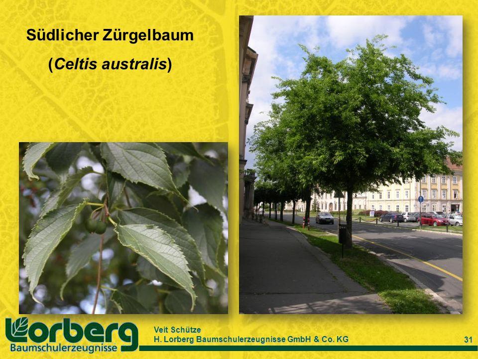 Südlicher Zürgelbaum (Celtis australis)
