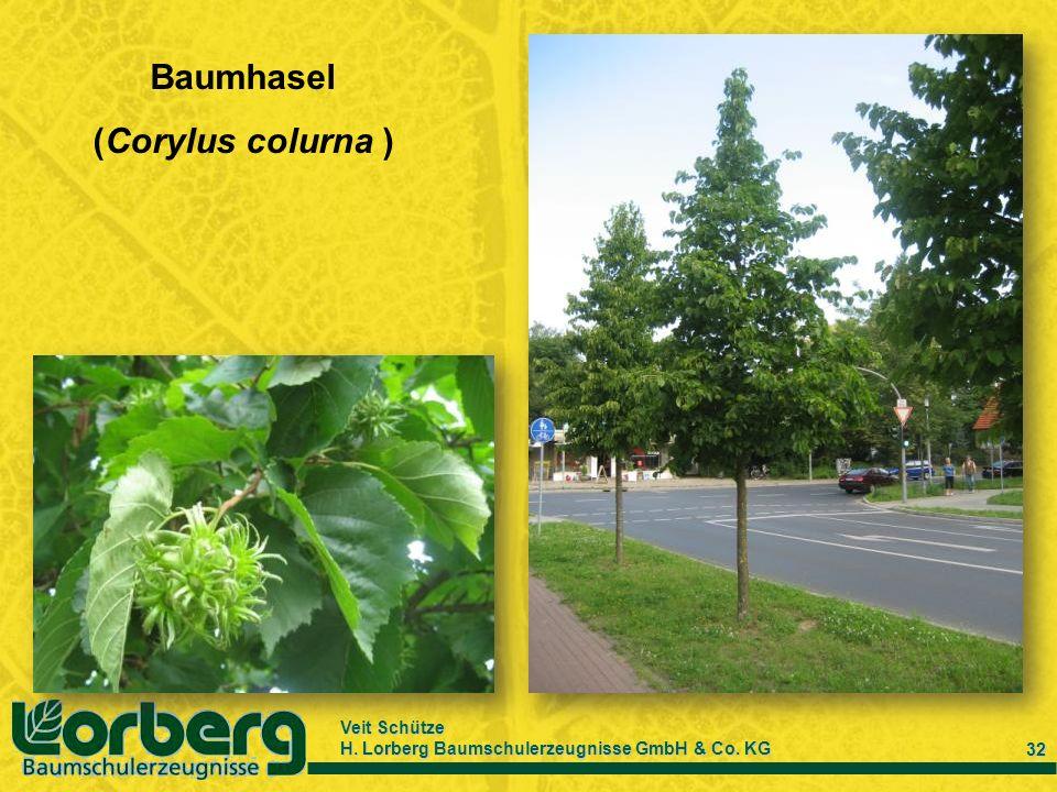 Baumhasel (Corylus colurna )