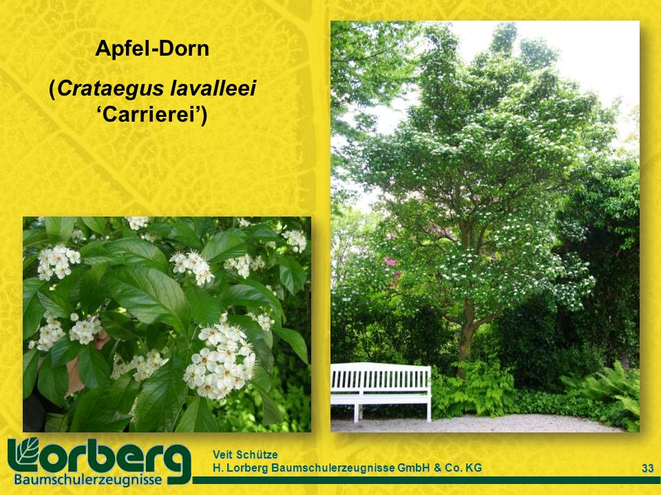 (Crataegus lavalleei 'Carrierei')