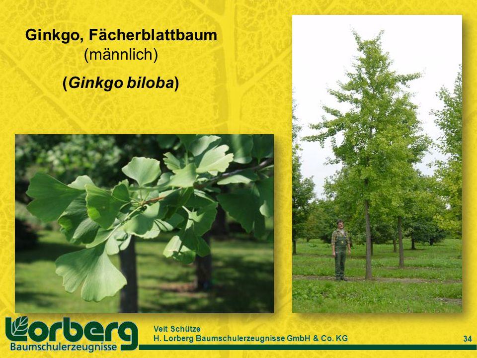 Ginkgo, Fächerblattbaum (männlich)