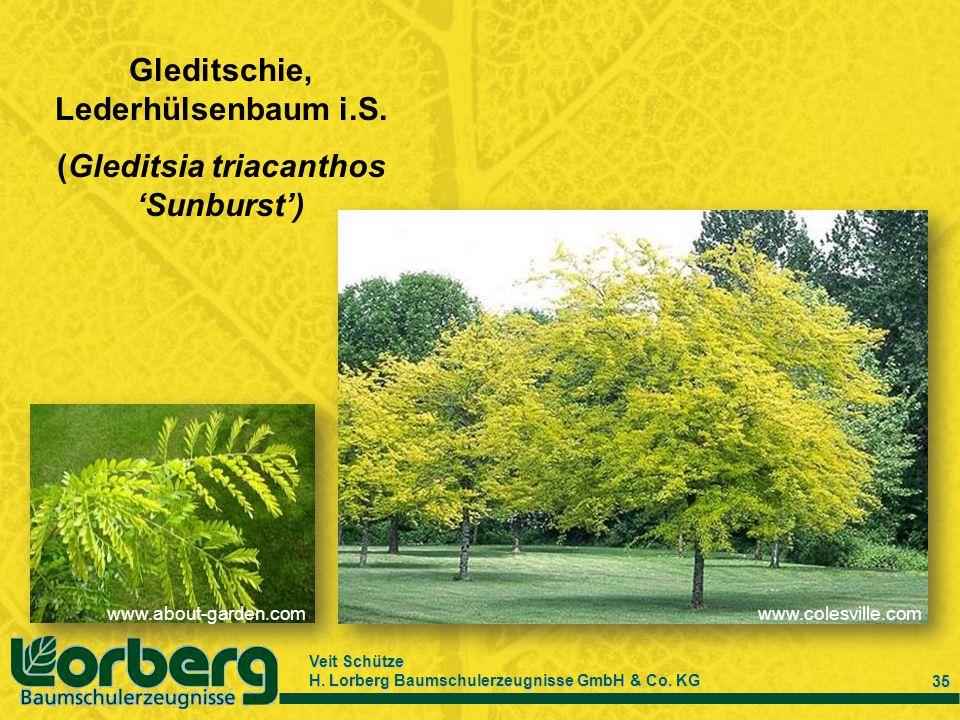 Gleditschie, Lederhülsenbaum i.S. (Gleditsia triacanthos 'Sunburst')