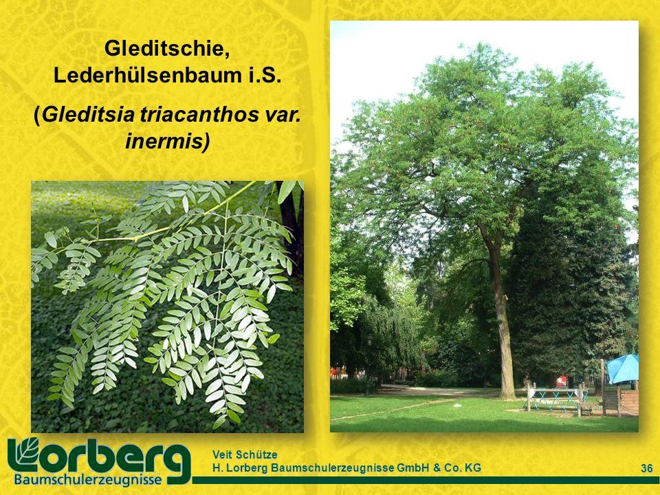 Gleditschie, Lederhülsenbaum i.S. (Gleditsia triacanthos var. inermis)