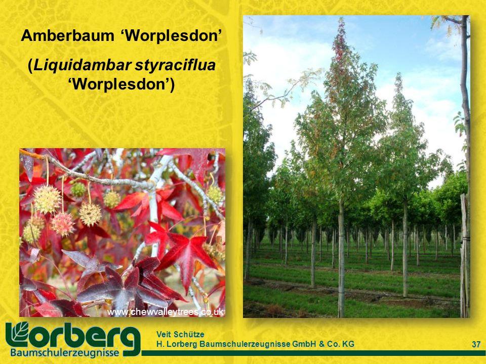 Amberbaum 'Worplesdon'