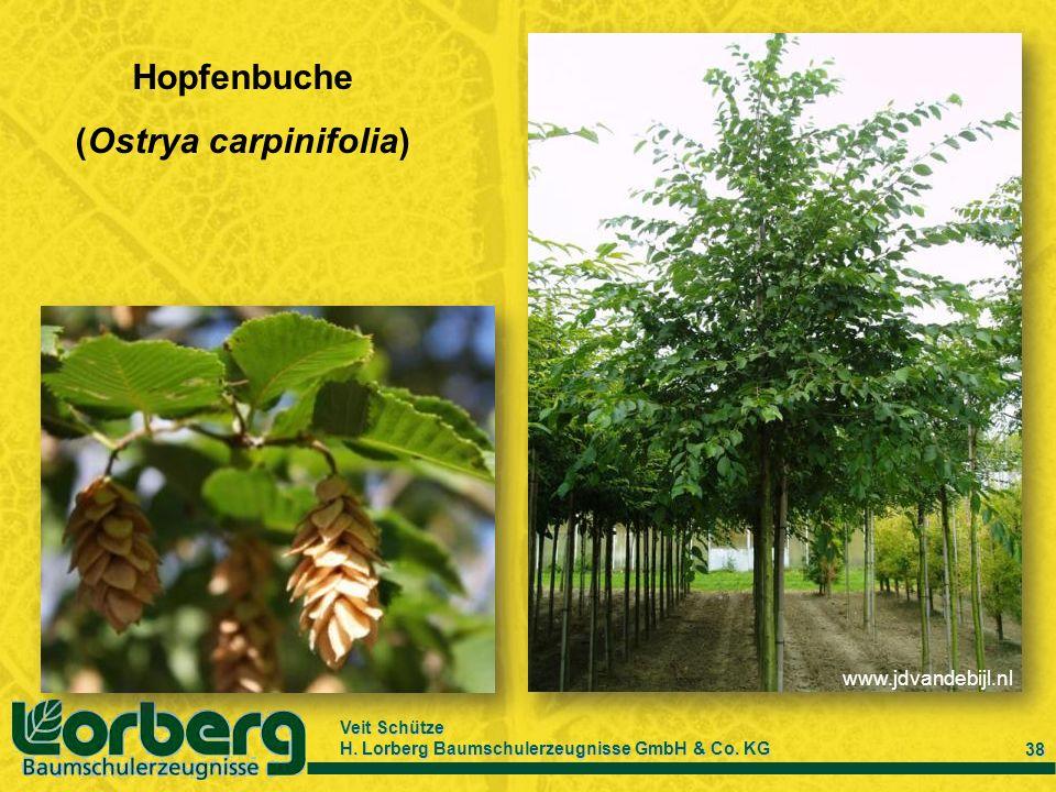 (Ostrya carpinifolia)