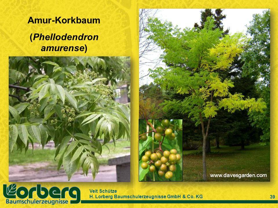 (Phellodendron amurense)