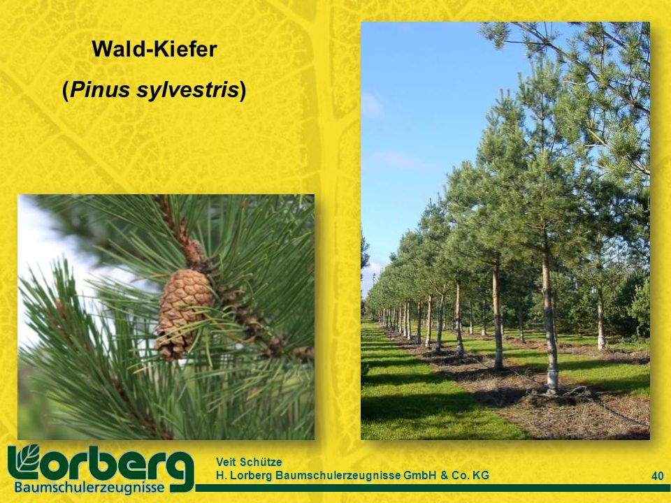 Wald-Kiefer (Pinus sylvestris)