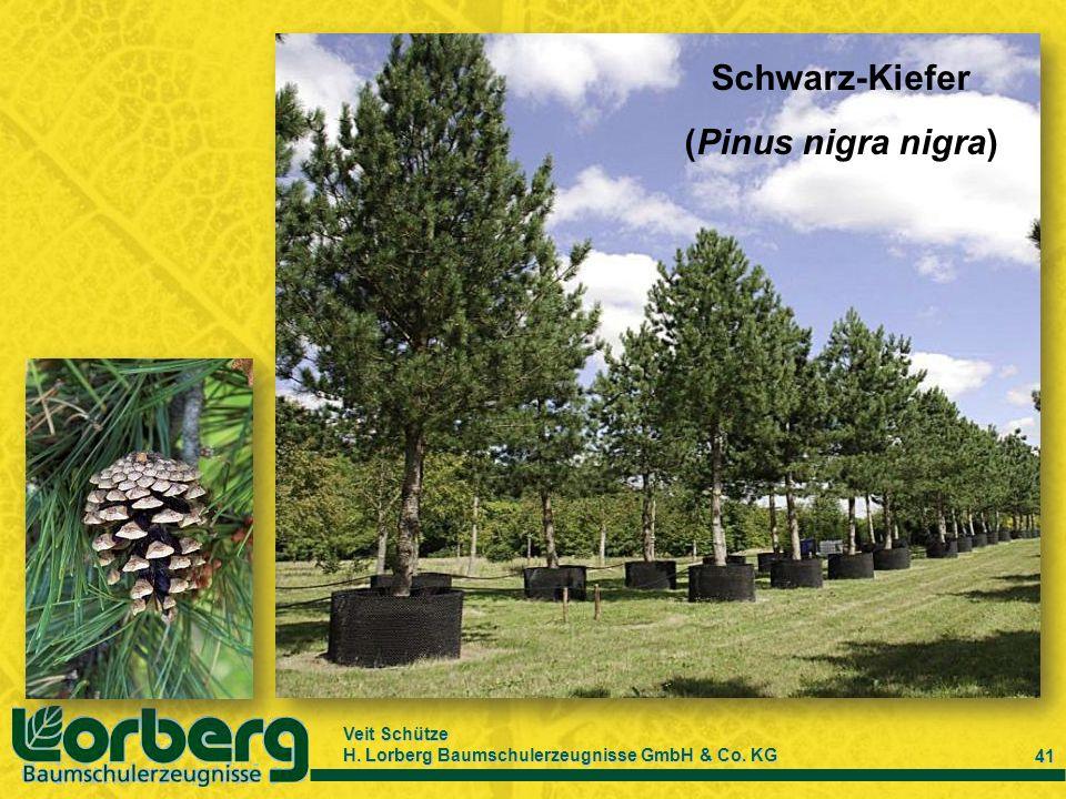 Schwarz-Kiefer (Pinus nigra nigra)
