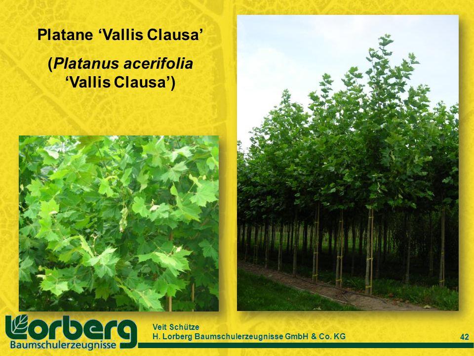 Platane 'Vallis Clausa' (Platanus acerifolia 'Vallis Clausa')