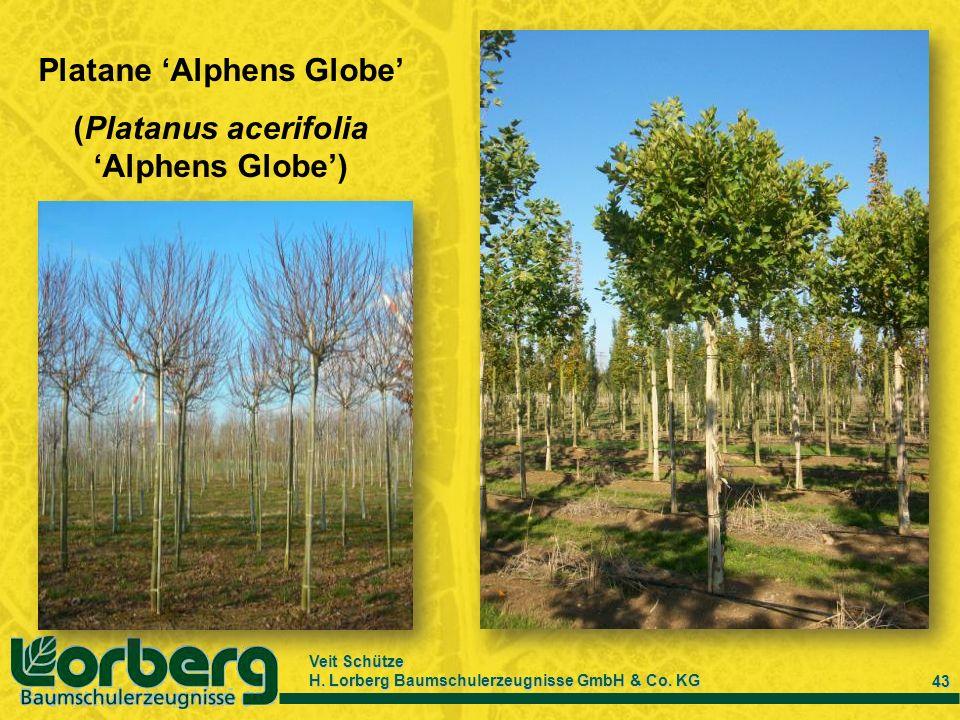 Platane 'Alphens Globe' (Platanus acerifolia 'Alphens Globe')