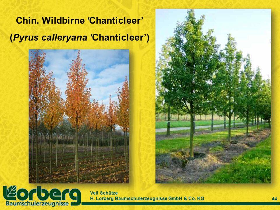 Chin. Wildbirne 'Chanticleer' (Pyrus calleryana 'Chanticleer')