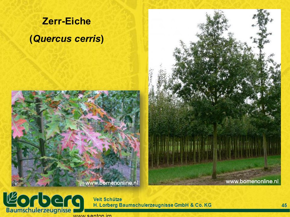 Zerr-Eiche (Quercus cerris)