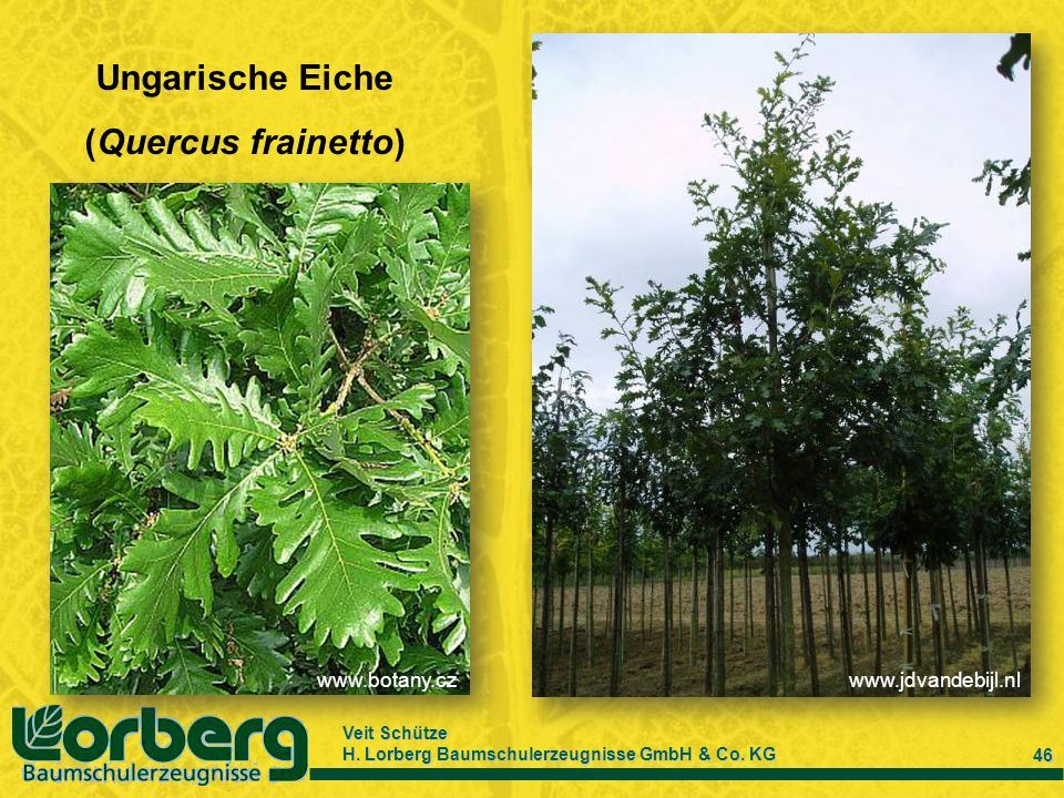 Ungarische Eiche (Quercus frainetto)