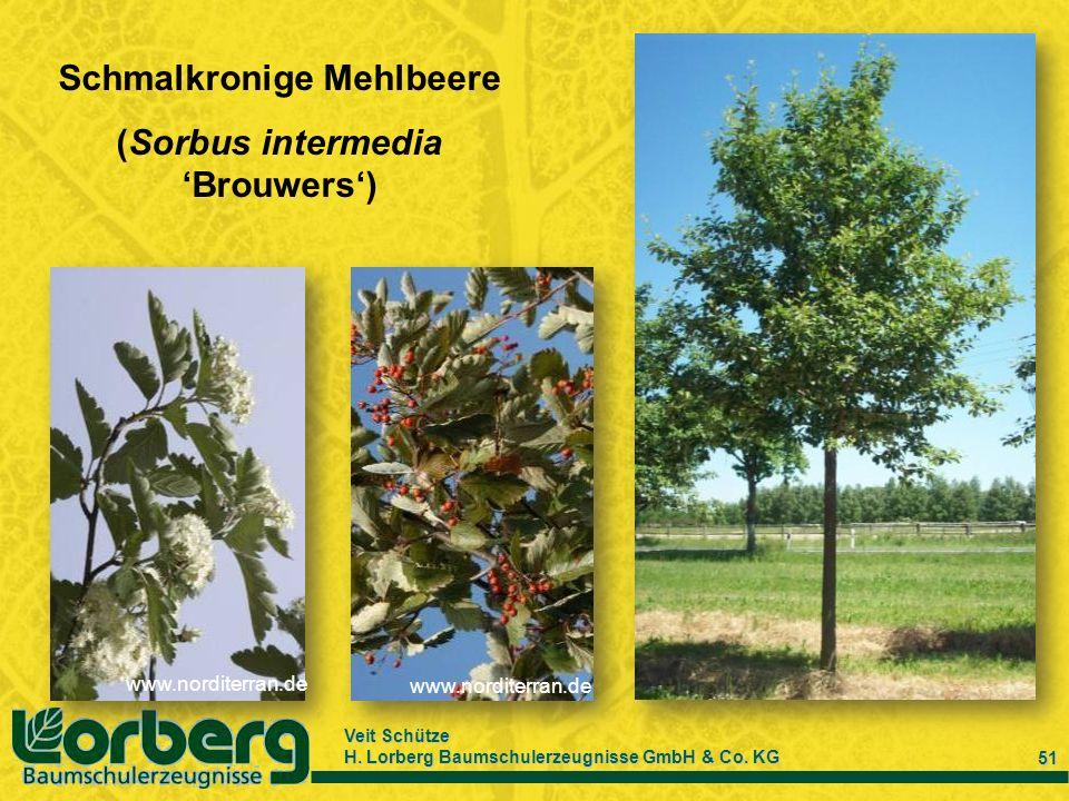 Schmalkronige Mehlbeere (Sorbus intermedia 'Brouwers')