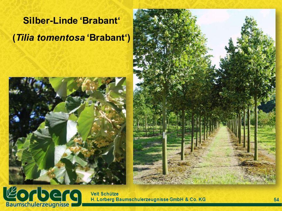 Silber-Linde 'Brabant' (Tilia tomentosa 'Brabant')
