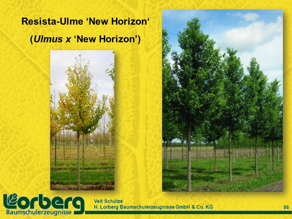 Resista-Ulme 'New Horizon' (Ulmus x 'New Horizon')