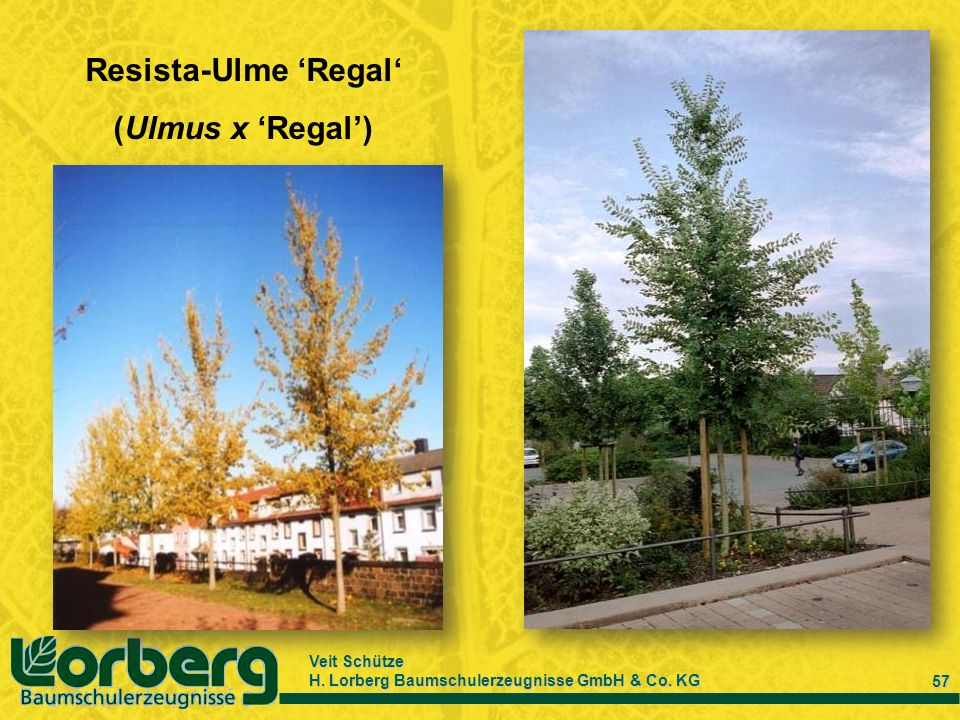 Resista-Ulme 'Regal' (Ulmus x 'Regal')