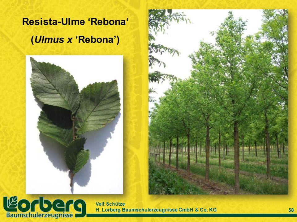 Resista-Ulme 'Rebona'