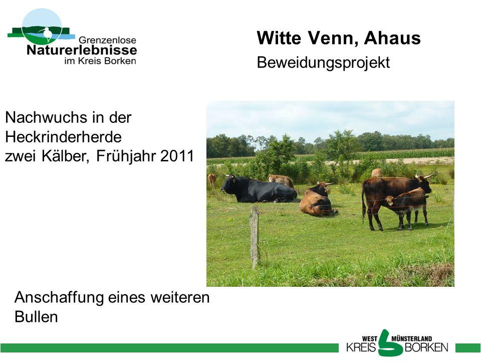 Witte Venn, Ahaus Beweidungsprojekt Nachwuchs in der Heckrinderherde