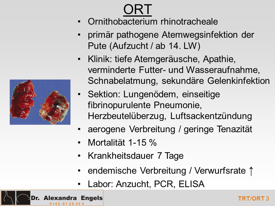 ORT Ornithobacterium rhinotracheale