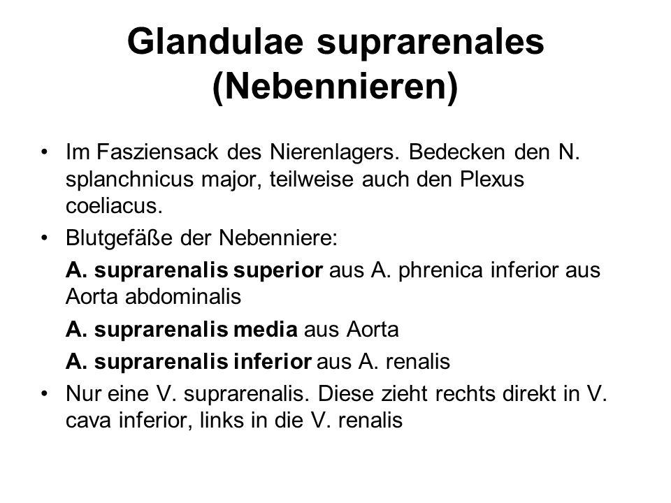 Glandulae suprarenales (Nebennieren)