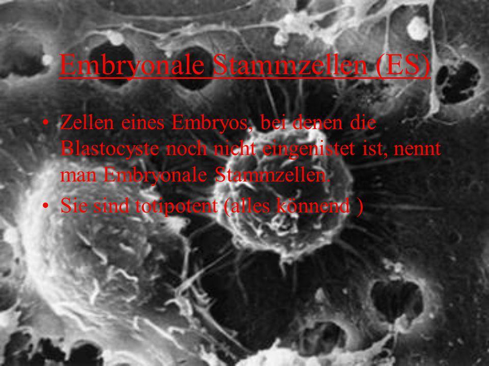 Embryonale Stammzellen (ES)