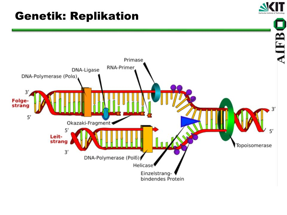 Genetik: Replikation