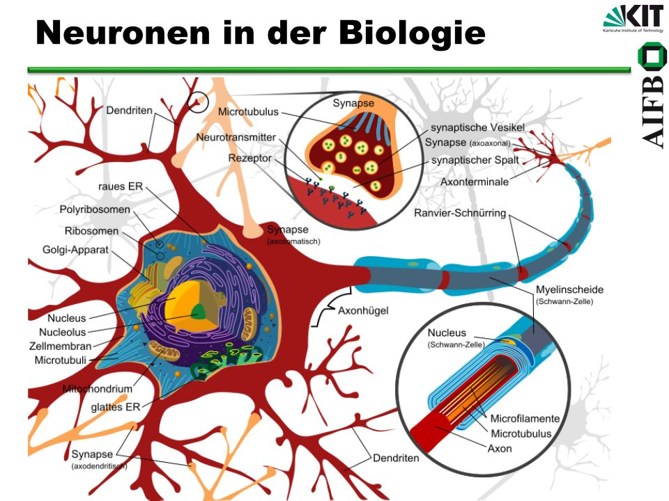 Neuronen in der Biologie