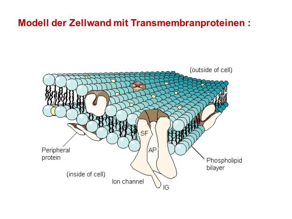 Modell der Zellwand mit Transmembranproteinen :