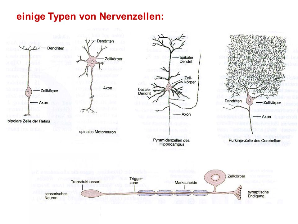 einige Typen von Nervenzellen: